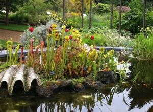 Sarracenia - Chelsea Physic Garden