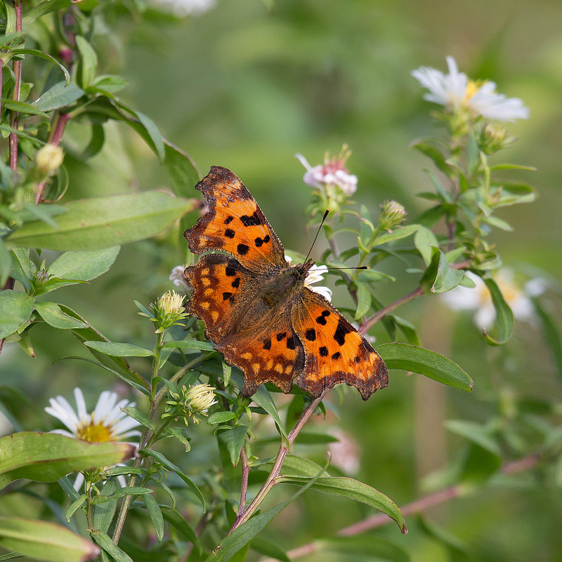 Comma - © Scyrene, Flickr