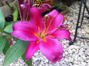 Beautiful lilies can be easily grown at home