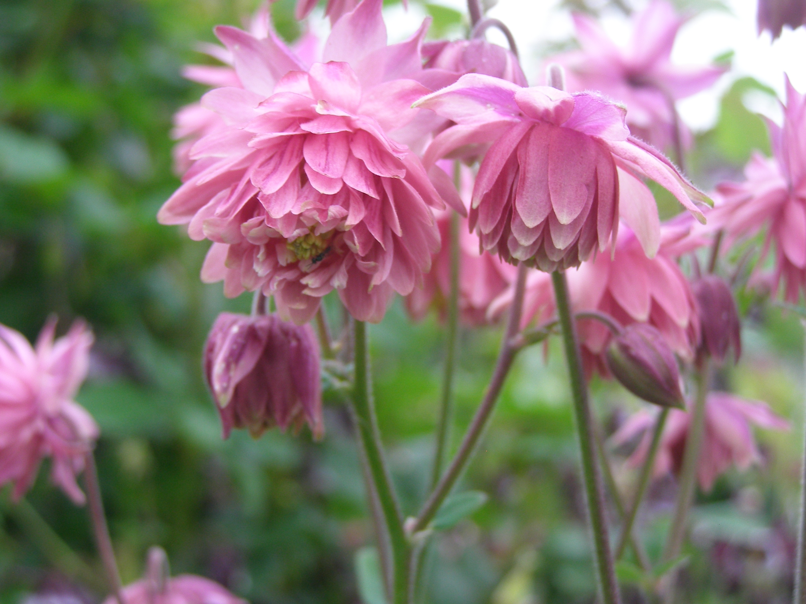 Plant pick growing aquilegia the guide to gay gardeningthe guide aquilegia izmirmasajfo