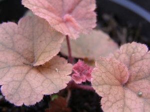 Heucheras are a great option for foliage.