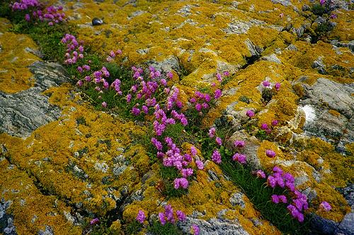 Pink Thrift in a natural setting - Flickr - © AnnaKika