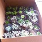 Succulents boxed up and ready to go