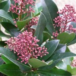 Plant Pick – Growing Skimmia