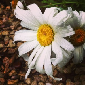 A flopped daisy collects rain droplets