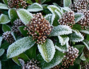 The winter frost clings beautifully to Skimmia leaves