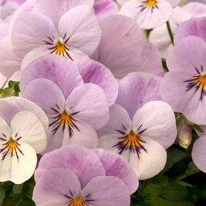 viola-teardrops-pink-blush-01