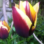 Plant Pick – Growing Tulips