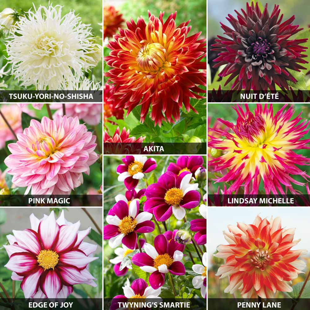 Half Price Dahlias Archives The Guide To Gay Gardeningthe Guide To