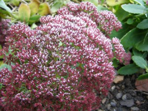 Early frost collect on this sedum flowerhead