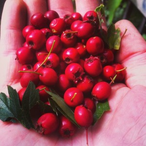 At this time of year, hawthorn berries (haws) can be found everywhere.