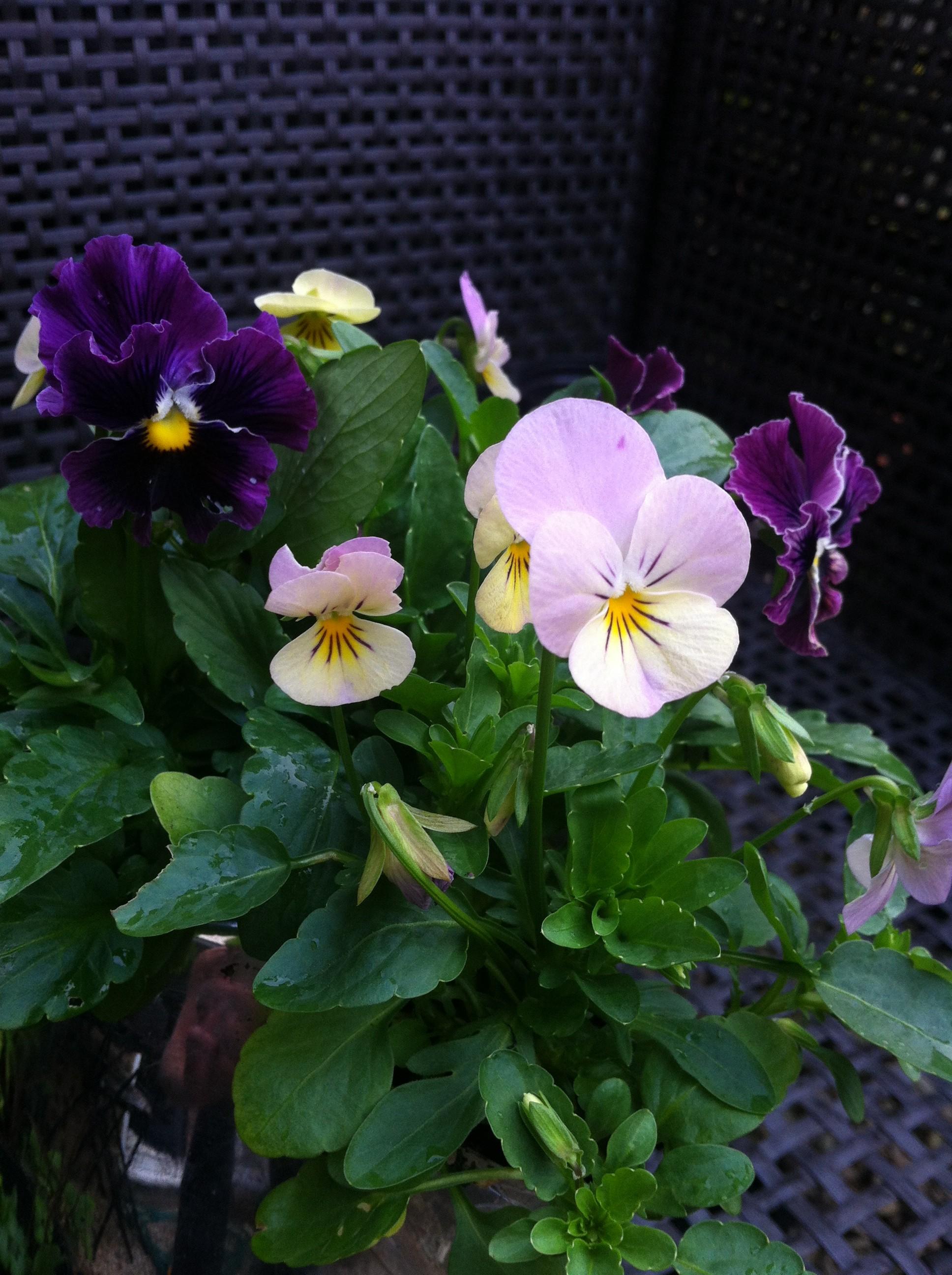 winter pansies and violas