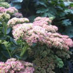 On My Oasis – 'tis the season for sedums and spiders