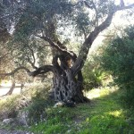 Beautiful old olive tree