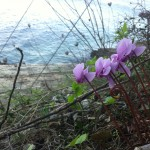 cyclamen are everywhere in Paxos!