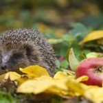 How to Help Hedgehogs – Getting in the Know