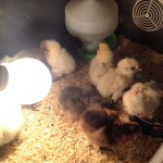 On My Oasis – An Explosion of Chicks