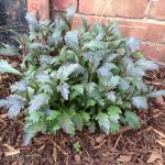 How to Take Spring Basal Cuttings – Verbena and Cosmos