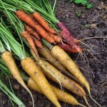 Growing Carrots – My First Crop
