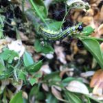 Boxtree Caterpillar – Is This the End for Traditional Box Topiary?