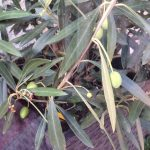On My Oasis – Olives and September Heat