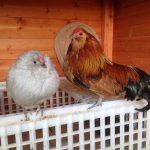 Backyard Poultry – A Chicken Tour