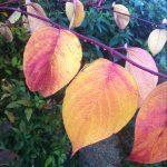 Monday Magic – Pruning Cornus (Dogwood)