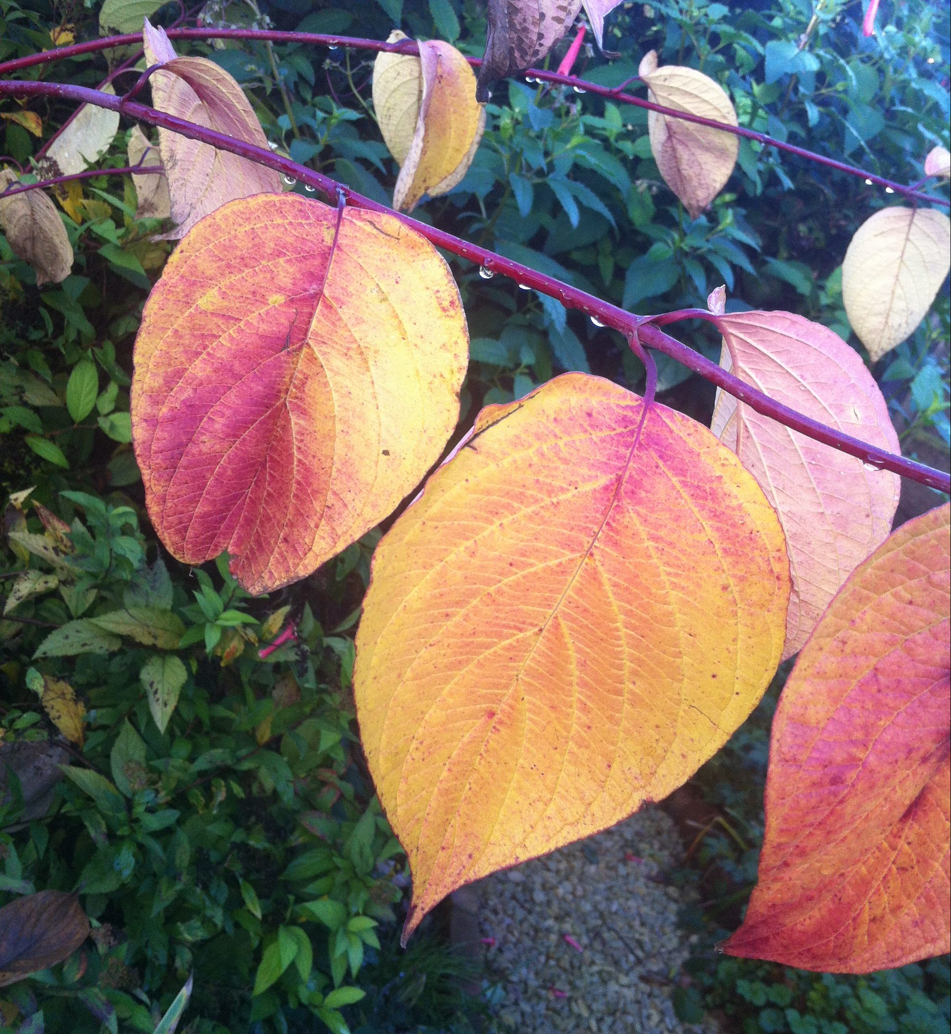 Pruning cornus gives great autumn leaves too
