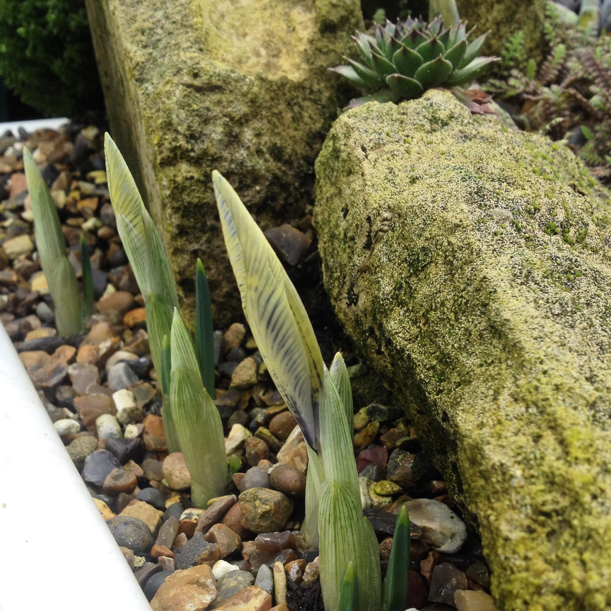 Iris reticulata (Katherine Hodgkin)