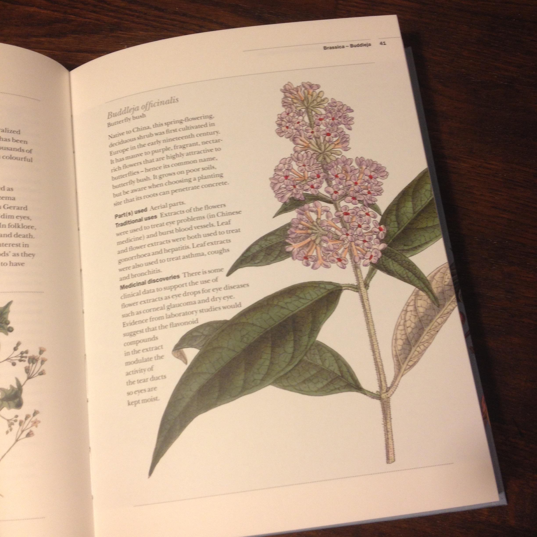 Botanical illustration - Buddleja