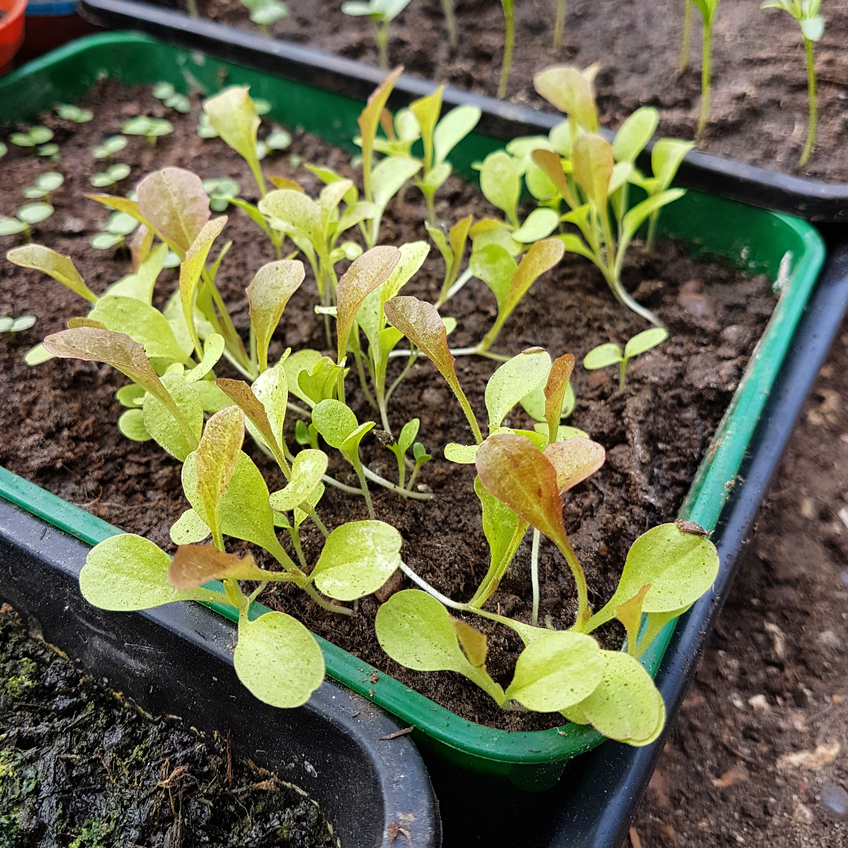 Transplanting veggie seedlings - salad bowl red lettuce