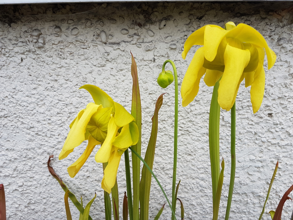 Sarracenia flowers - an unexpected surprise