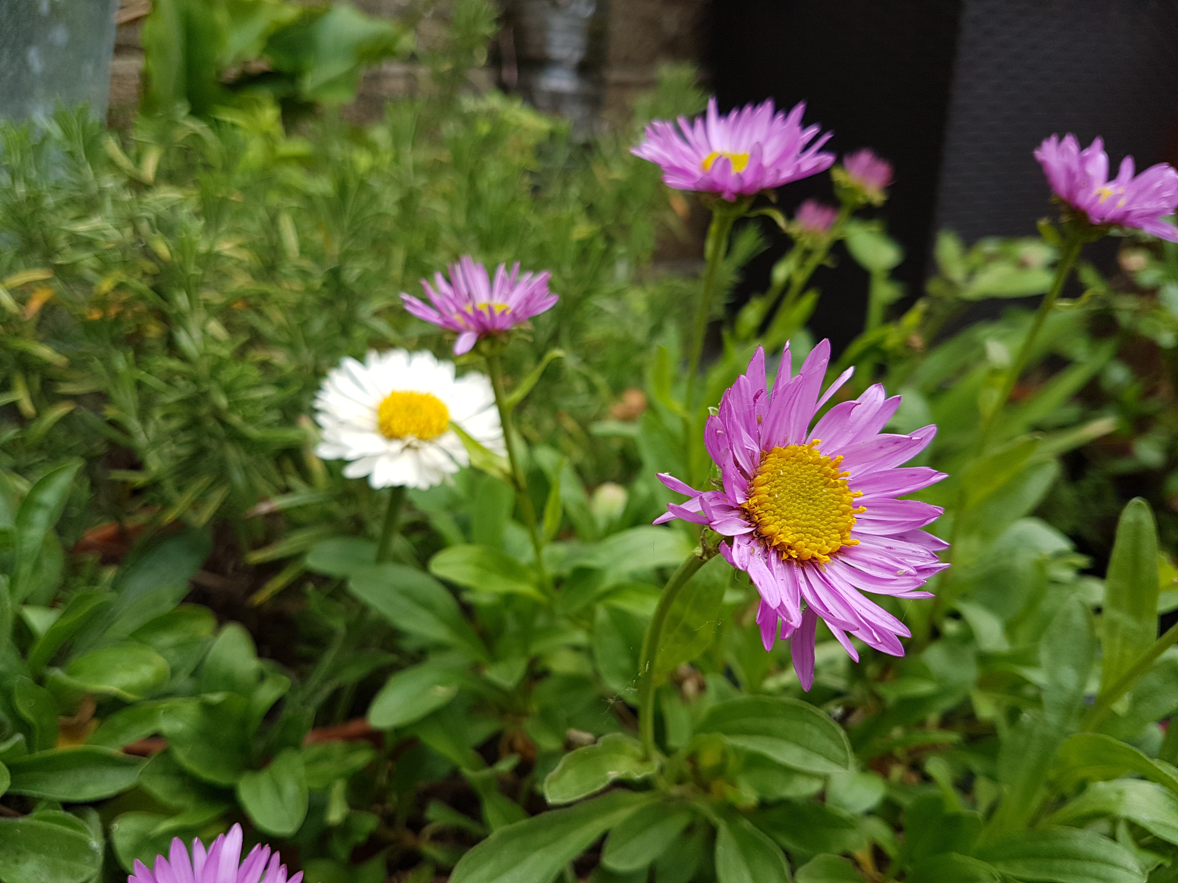 Alpine asters in flower